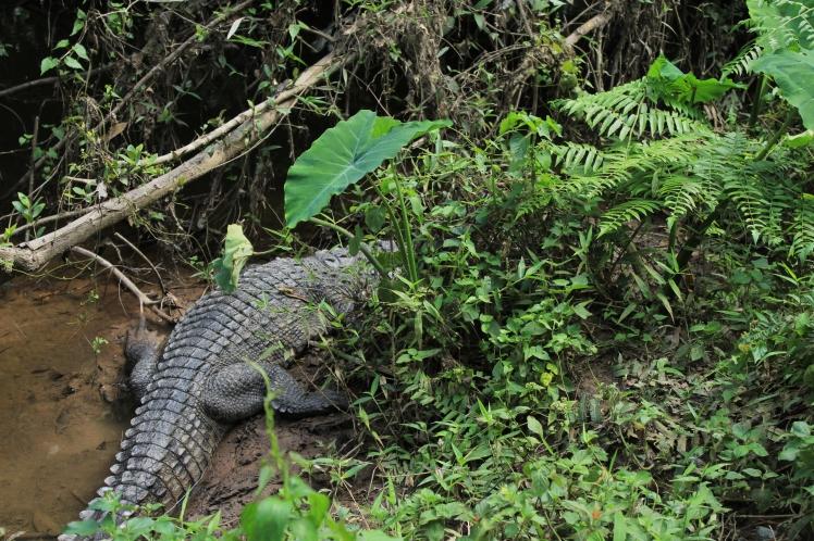 Khao Yai - crocodile
