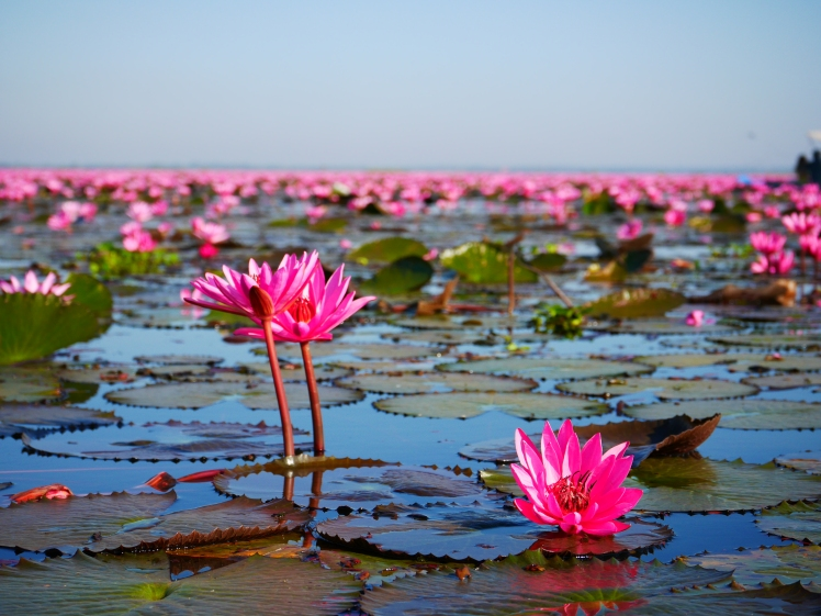 lac de lotus rose - udon thani (2)