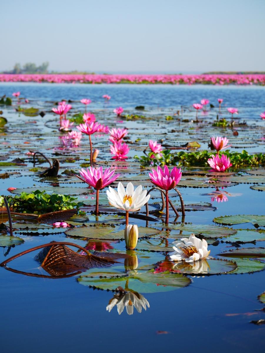 Thaïlande - Udon Thani et son lac aux Lotus Rose