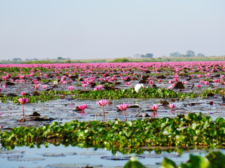 lac de lotus rose - udon thani (5)
